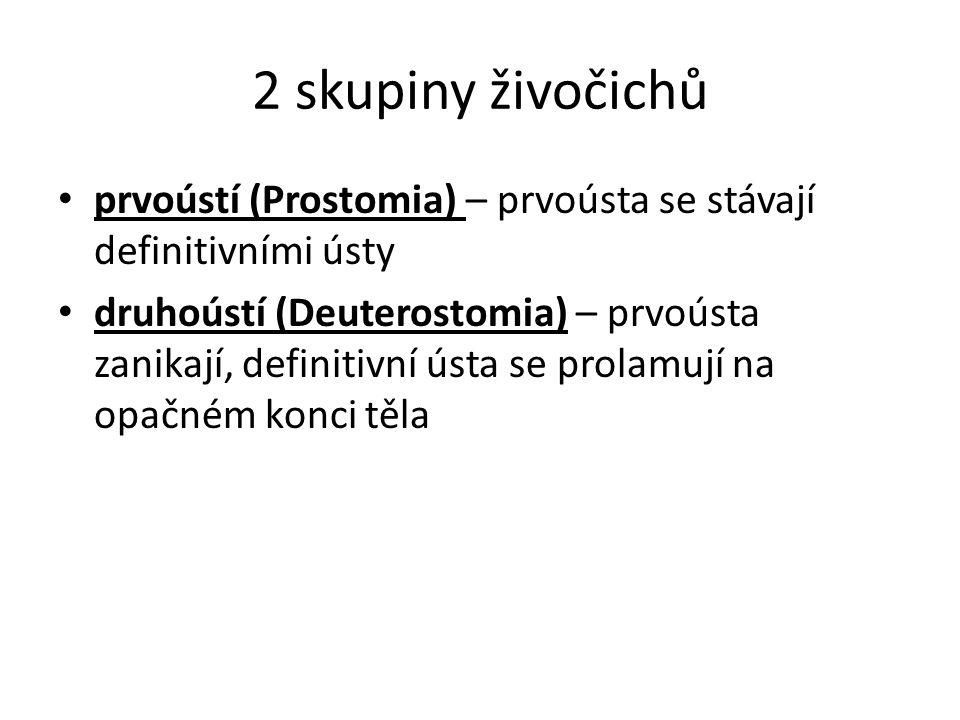 2 skupiny živočichů prvoústí (Prostomia) – prvoústa se stávají definitivními ústy.