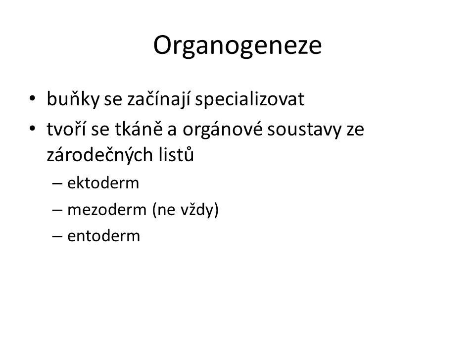 Organogeneze buňky se začínají specializovat