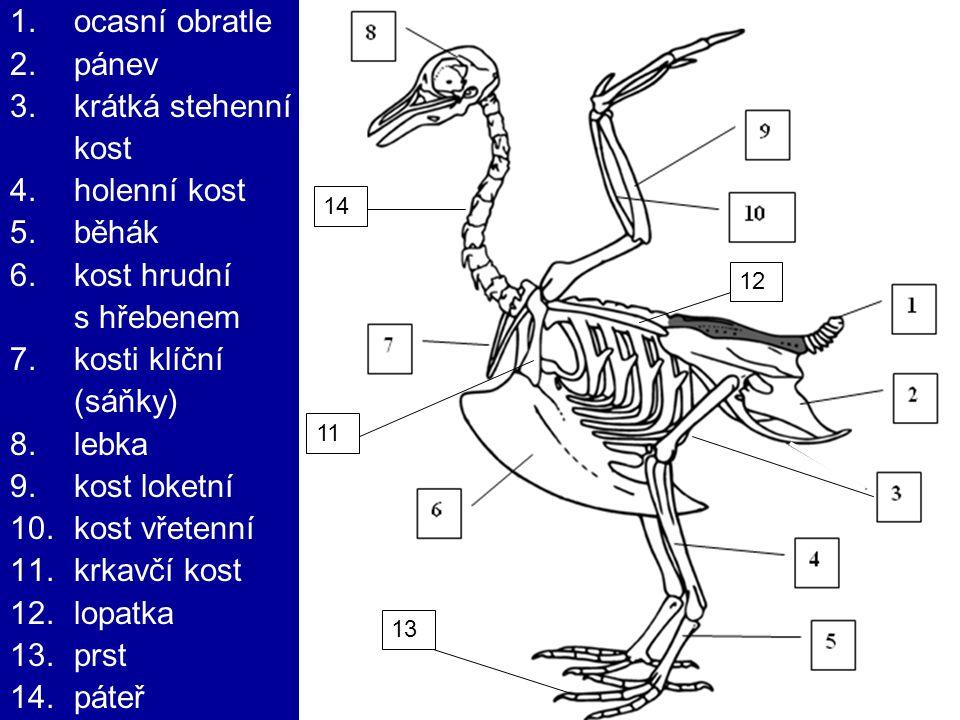 ocasní obratle pánev krátká stehenní kost holenní kost běhák