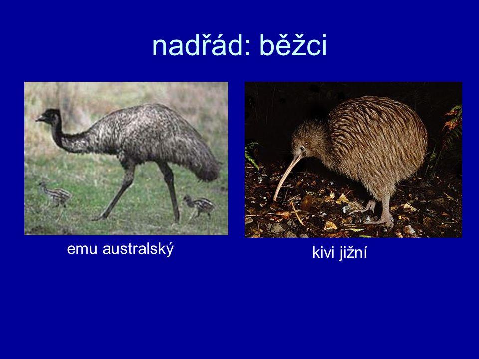 nadřád: běžci emu australský kivi jižní