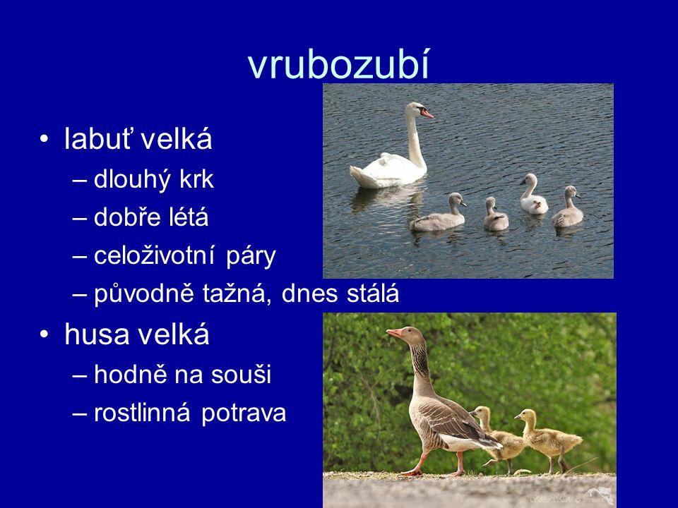 vrubozubí labuť velká husa velká dlouhý krk dobře létá