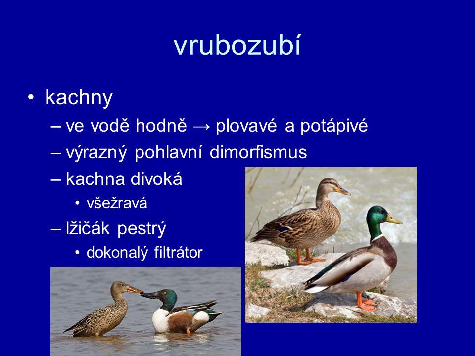 vrubozubí kachny ve vodě hodně → plovavé a potápivé