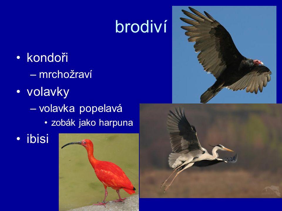 brodiví kondoři volavky ibisi mrchožraví volavka popelavá