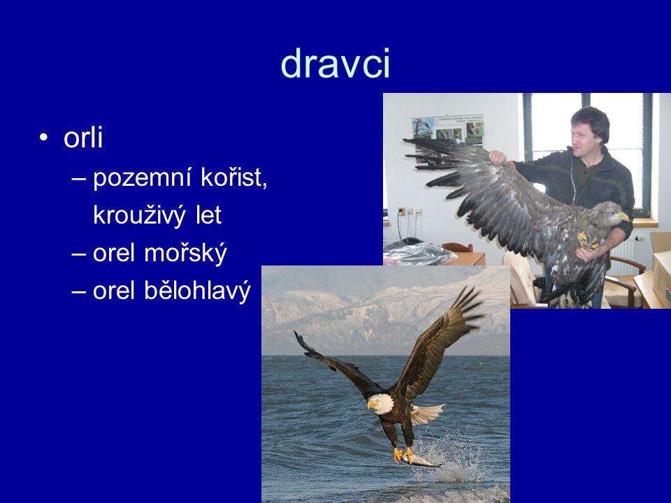 dravci orli pozemní kořist, krouživý let orel mořský orel bělohlavý