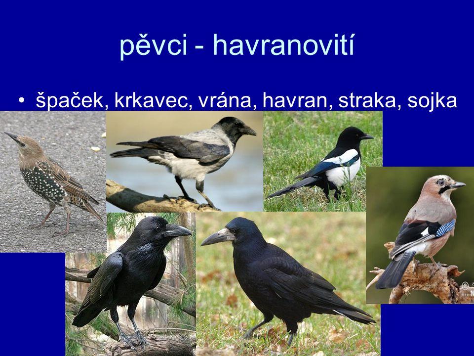 pěvci - havranovití špaček, krkavec, vrána, havran, straka, sojka