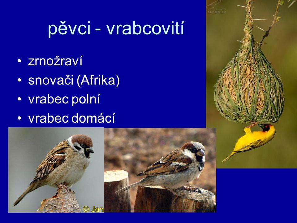 pěvci - vrabcovití zrnožraví snovači (Afrika) vrabec polní