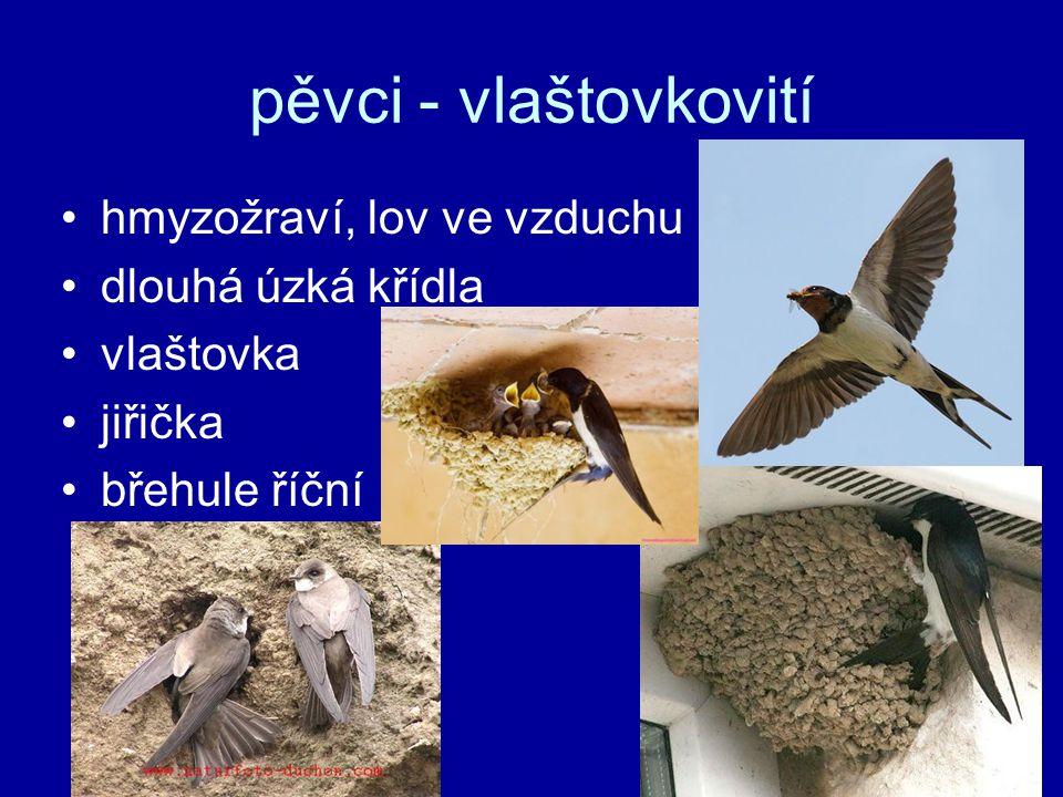 pěvci - vlaštovkovití hmyzožraví, lov ve vzduchu dlouhá úzká křídla