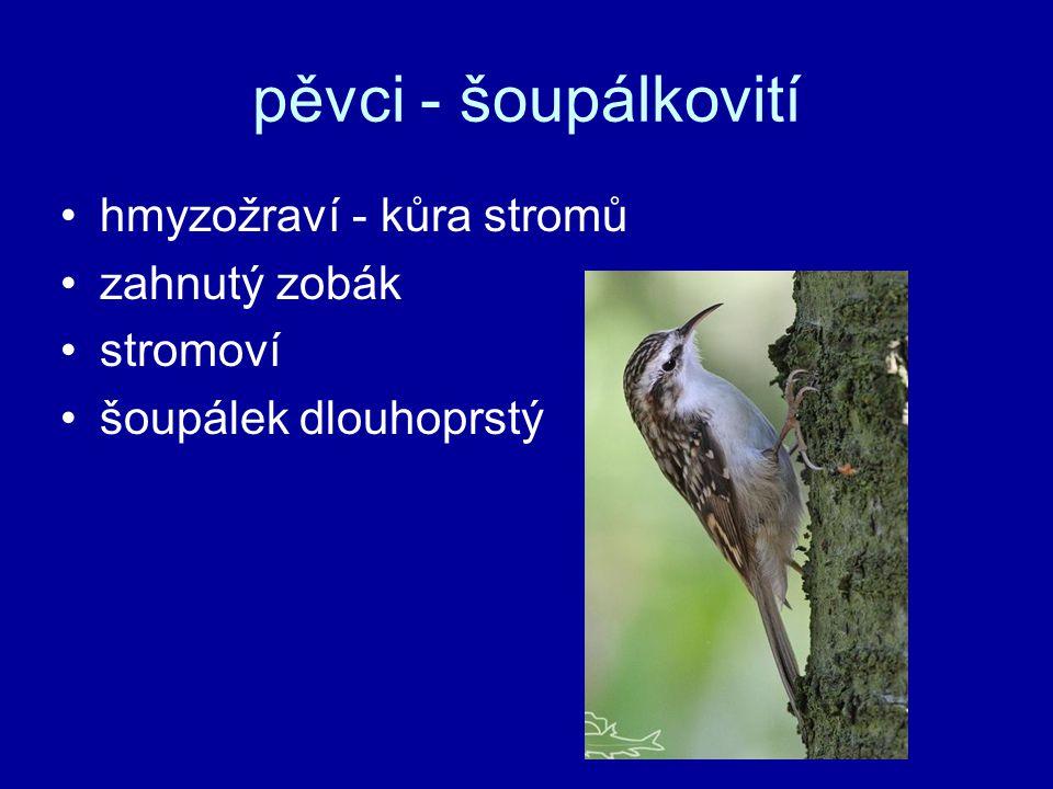 pěvci - šoupálkovití hmyzožraví - kůra stromů zahnutý zobák stromoví