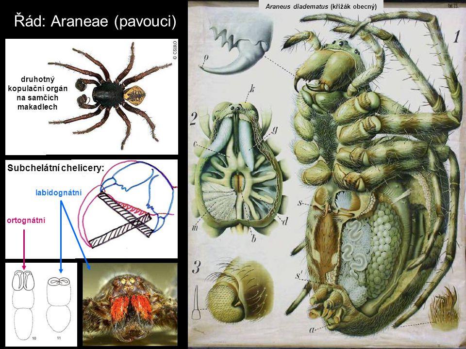 Řád: Araneae (pavouci)