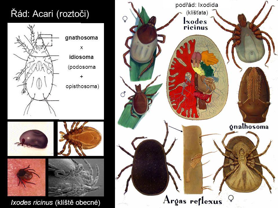 Ixodes ricinus (klíště obecné)