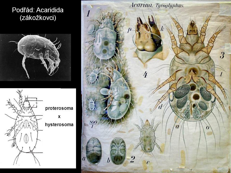 Podřád: Acaridida (zákožkovci)