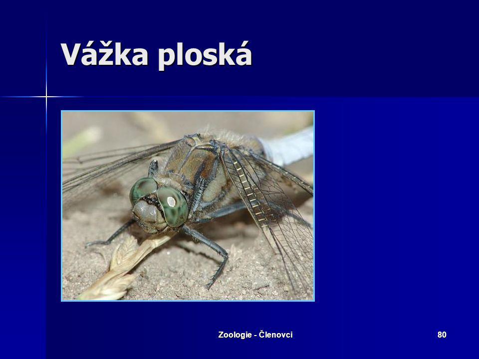 Vážka ploská Zoologie - Členovci