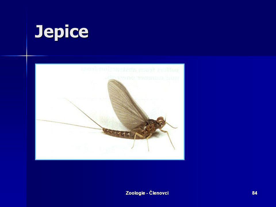 Jepice Zoologie - Členovci