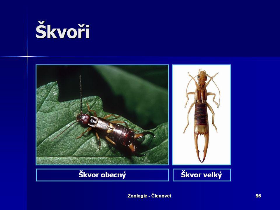 Škvoři Škvor obecný Škvor velký Zoologie - Členovci