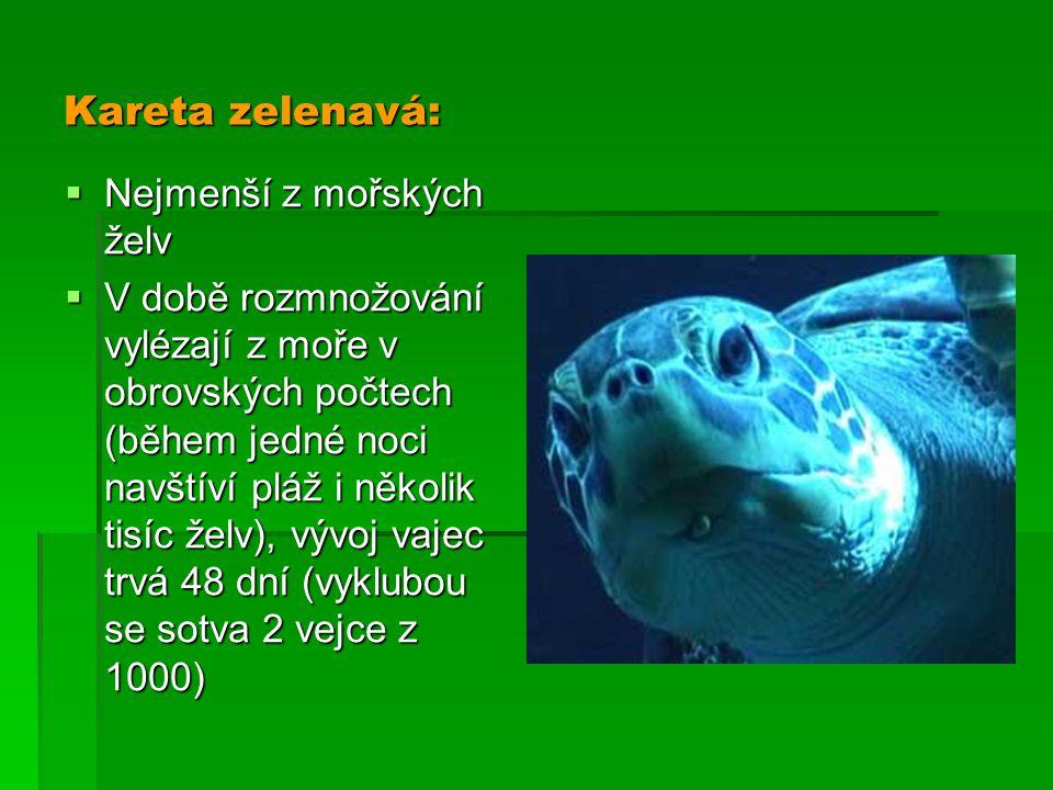 Kareta zelenavá: Nejmenší z mořských želv