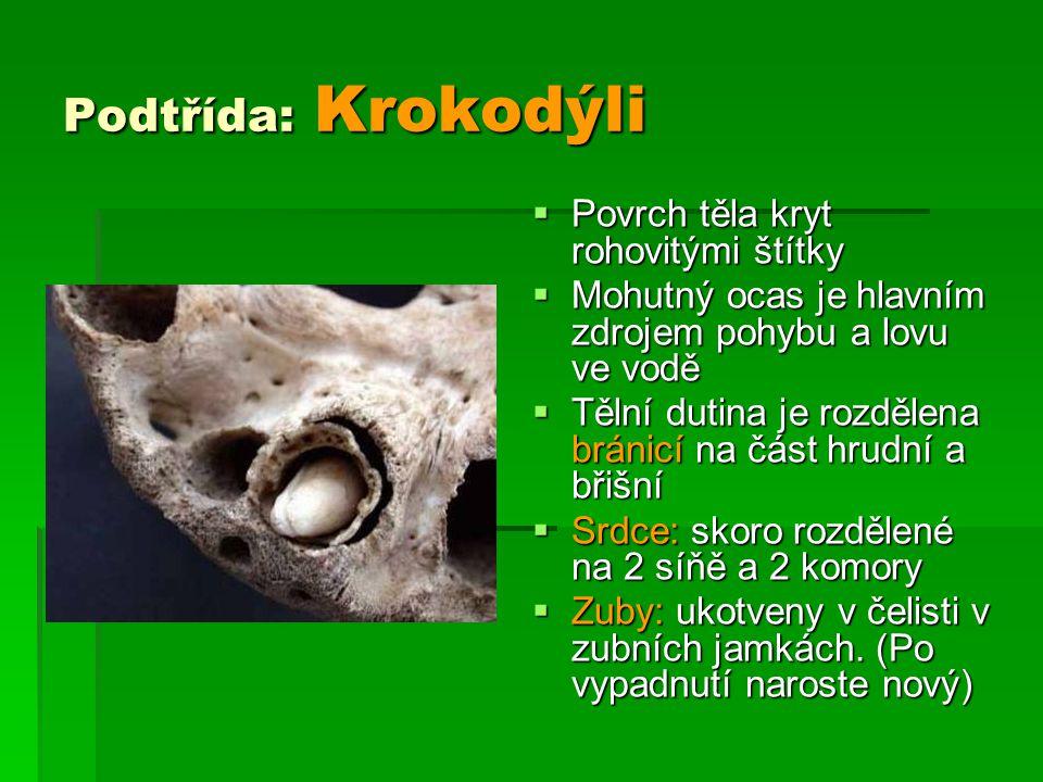 Podtřída: Krokodýli Povrch těla kryt rohovitými štítky