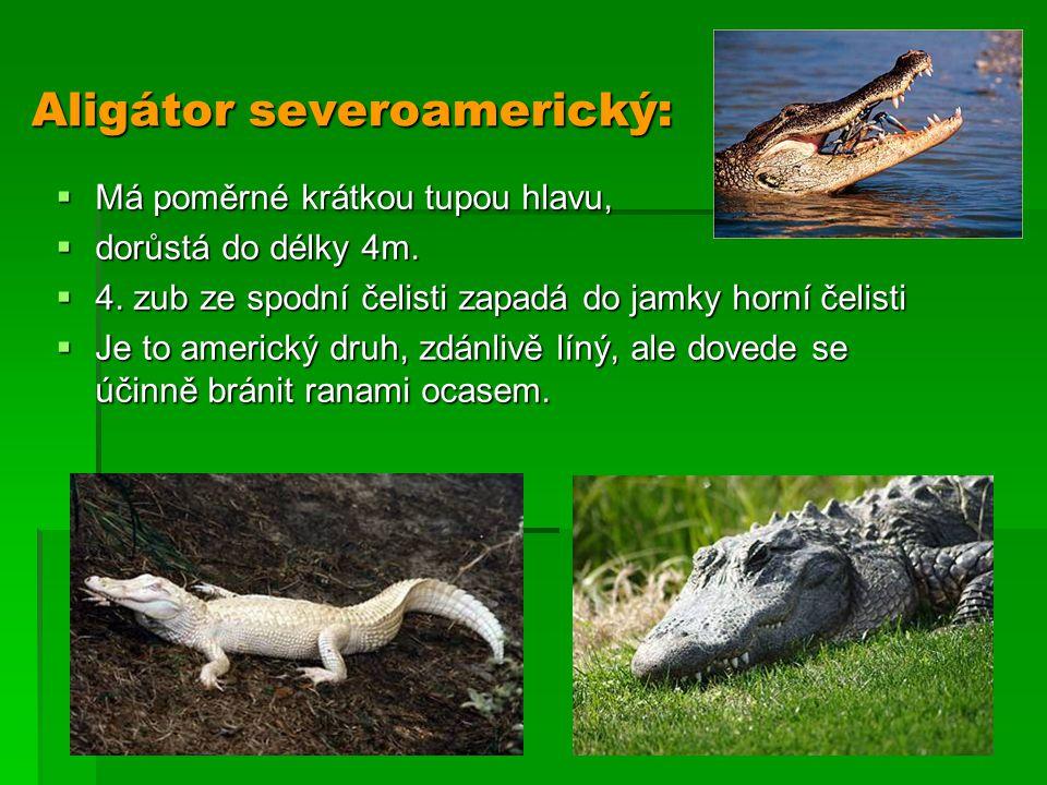 Aligátor severoamerický: