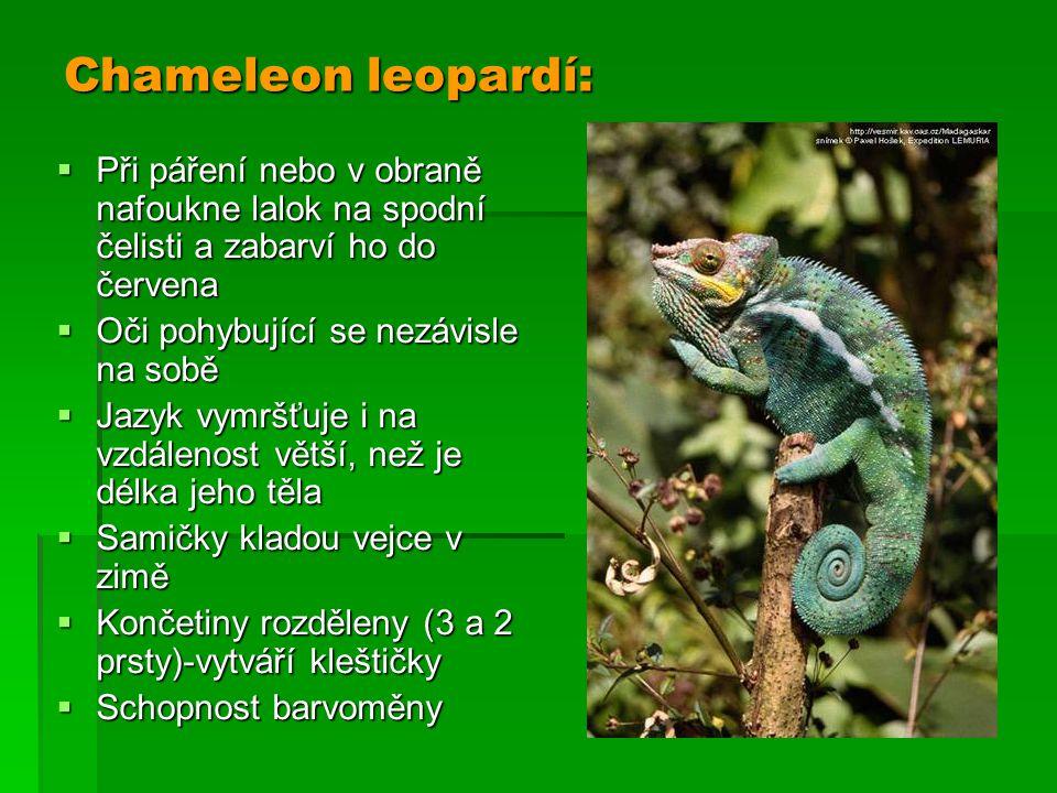 Chameleon leopardí: Při páření nebo v obraně nafoukne lalok na spodní čelisti a zabarví ho do červena.