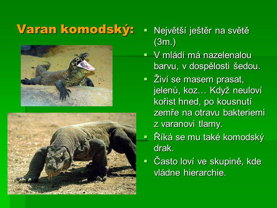Varan komodský: Největší ještěr na světě (3m.)