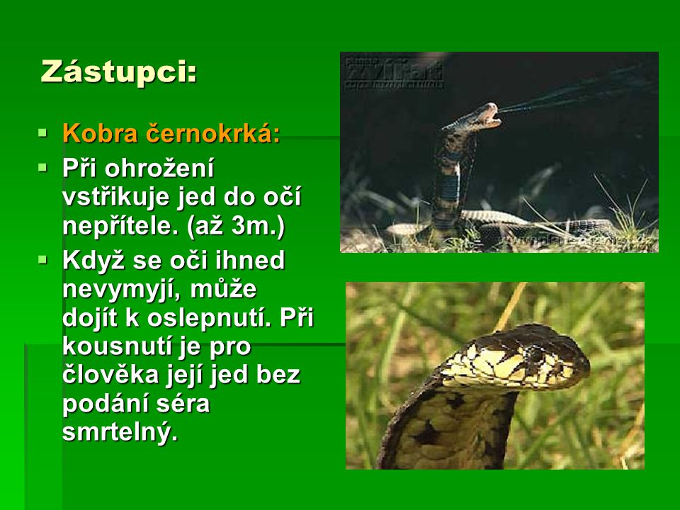 Zástupci: Kobra černokrká: