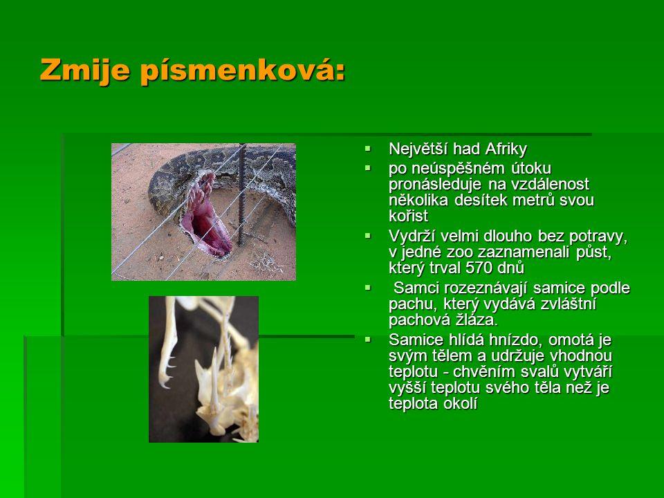 Zmije písmenková: Největší had Afriky