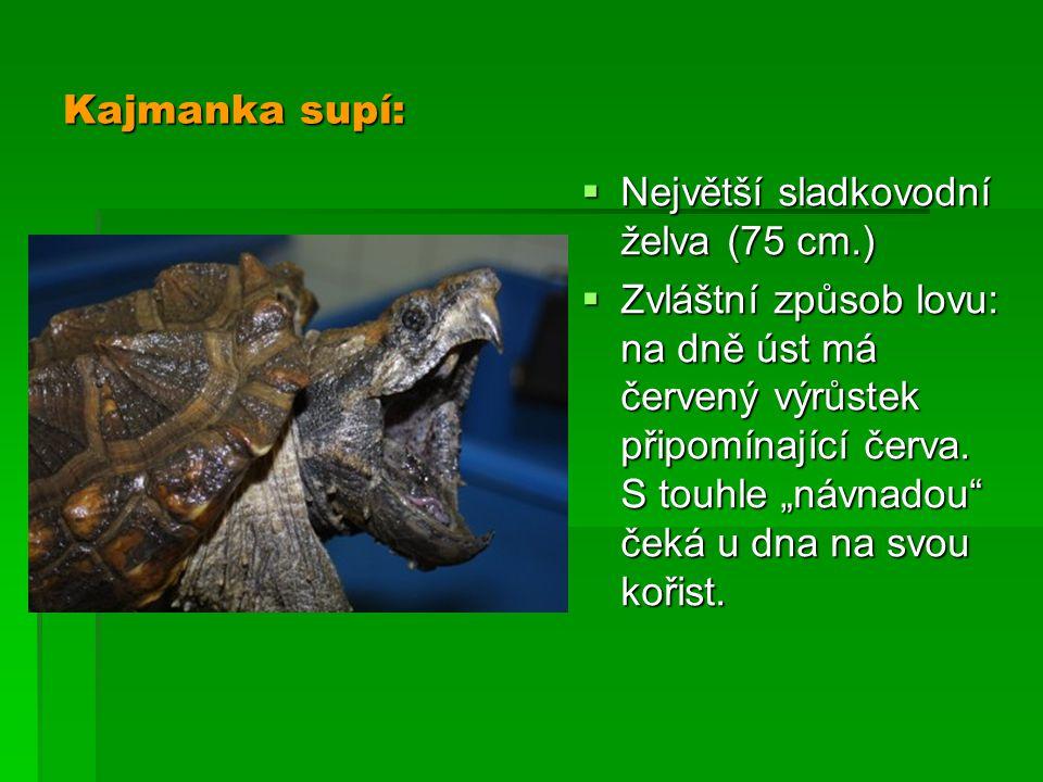Kajmanka supí: Největší sladkovodní želva (75 cm.)