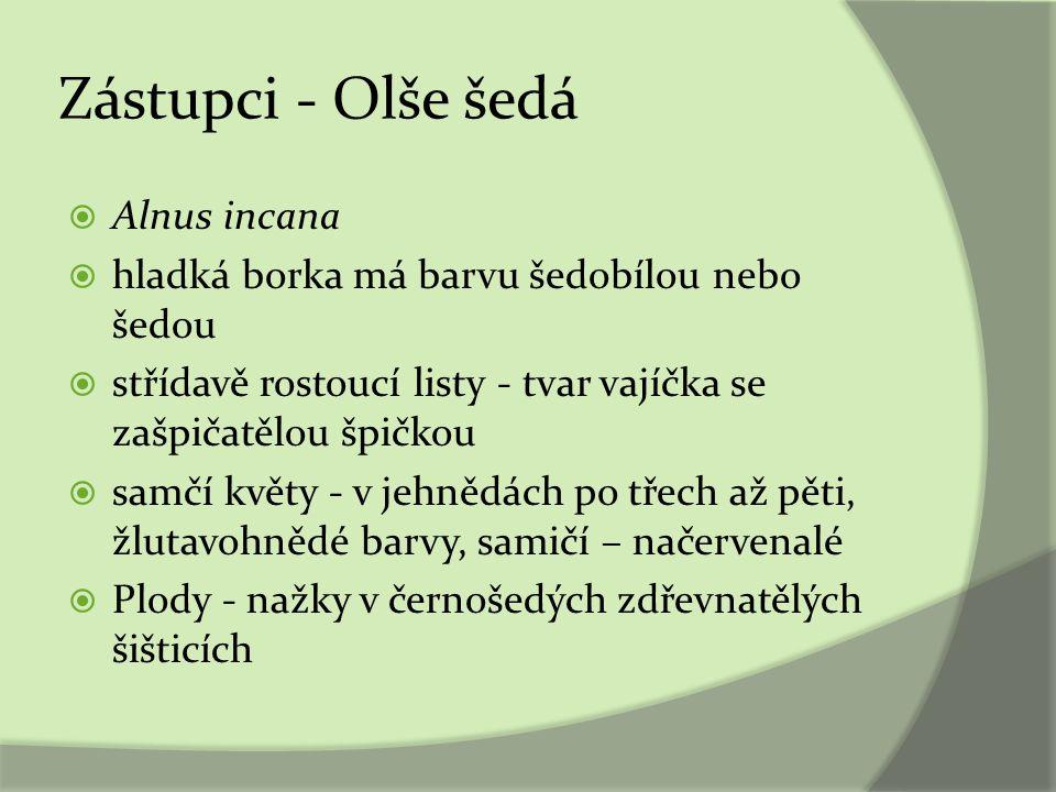 Zástupci - Olše šedá Alnus incana