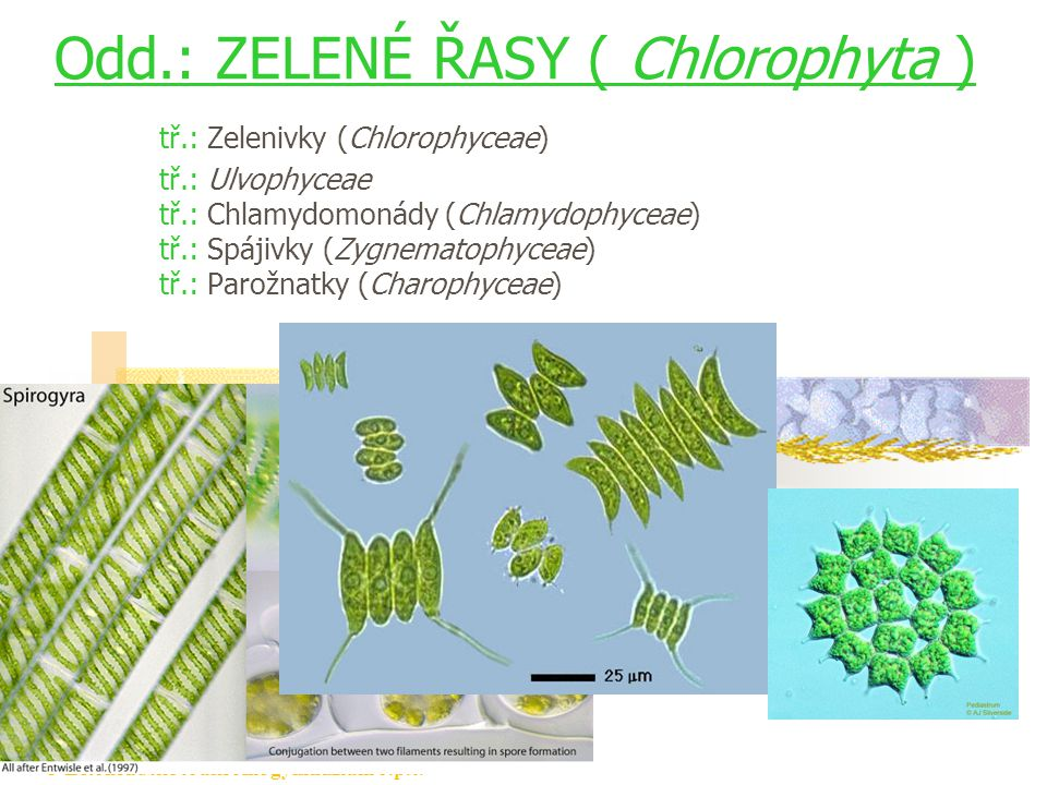 Odd.: ZELENÉ ŘASY ( Chlorophyta ) tř.: Zelenivky (Chlorophyceae) tř.: Ulvophyceae tř.: Chlamydomonády (Chlamydophyceae) tř.: Spájivky (Zygnematophyceae) tř.: Parožnatky (Charophyceae)