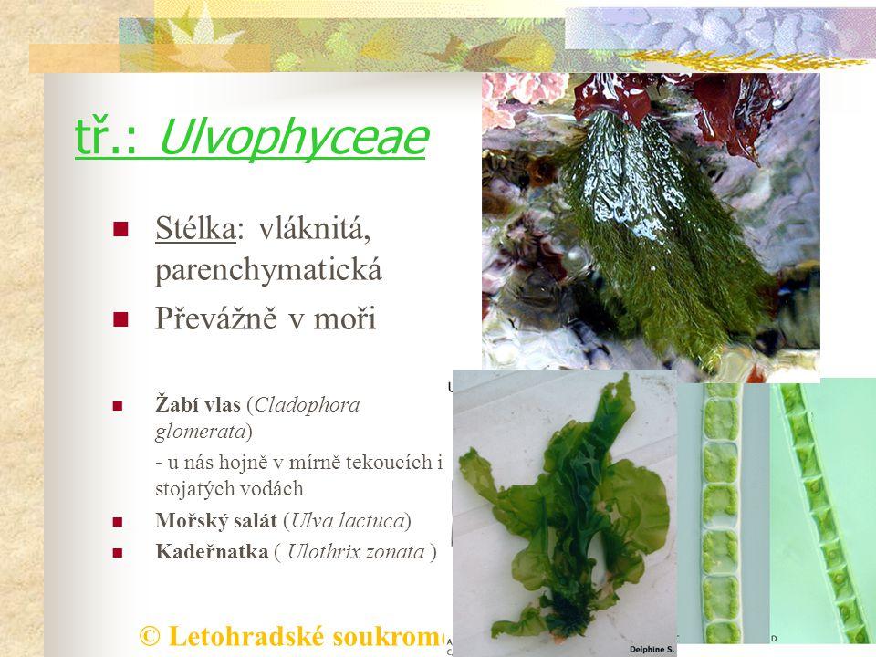 tř.: Ulvophyceae Stélka: vláknitá, parenchymatická Převážně v moři