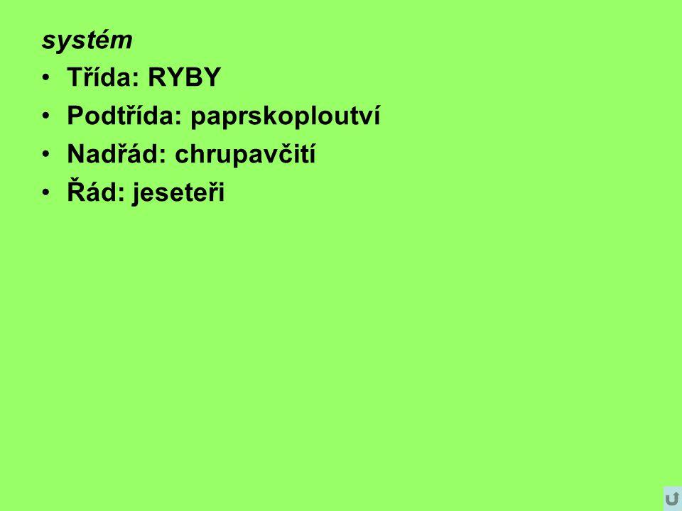 systém Třída: RYBY Podtřída: paprskoploutví Nadřád: chrupavčití Řád: jeseteři