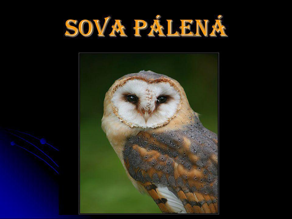 Sova Pálená