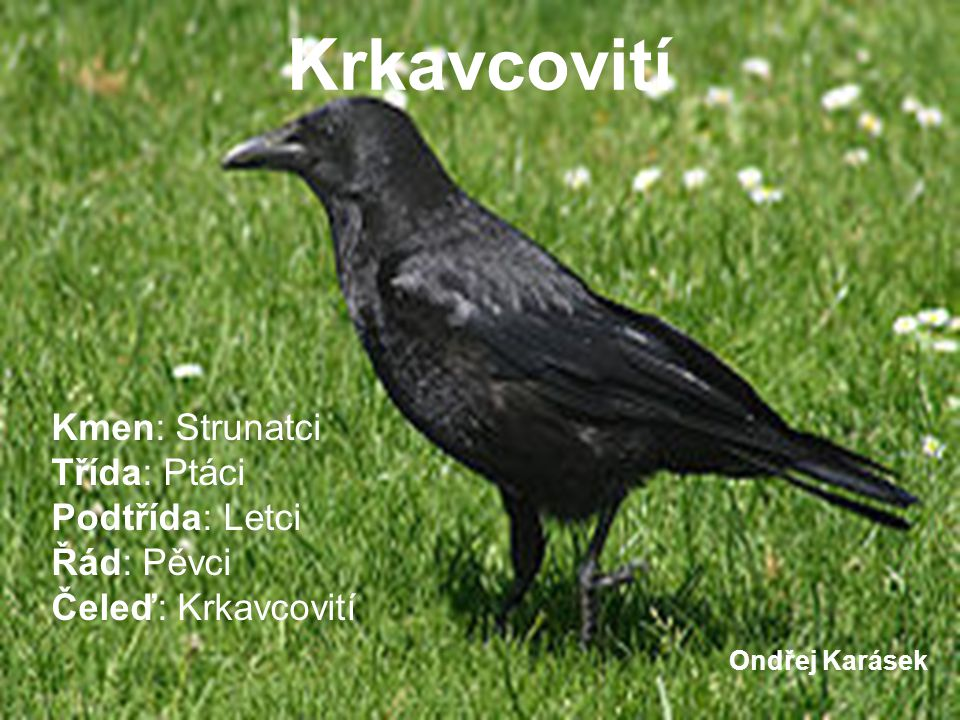 Krkavcovití Kmen: Strunatci Třída: Ptáci Podtřída: Letci Řád: Pěvci