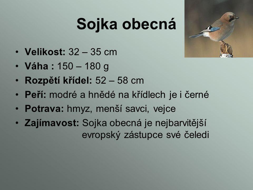 Sojka obecná Velikost: 32 – 35 cm Váha : 150 – 180 g