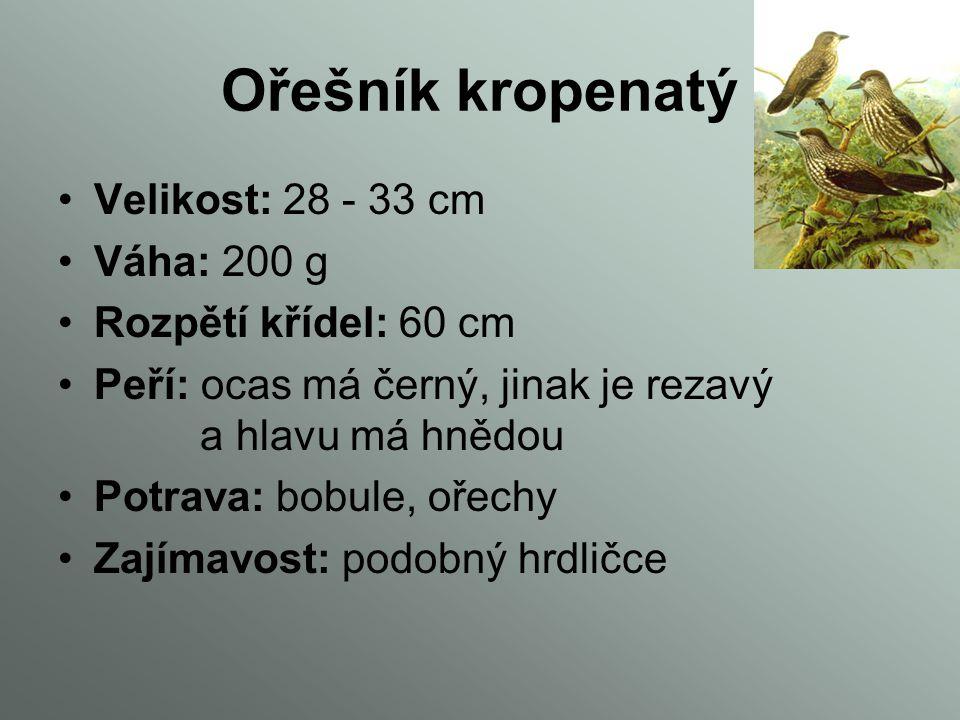 Ořešník kropenatý Velikost: 28 - 33 cm Váha: 200 g