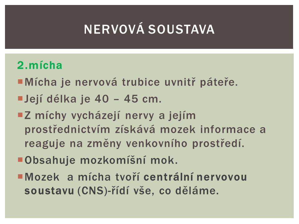 Nervová soustava 2.mícha Mícha je nervová trubice uvnitř páteře.