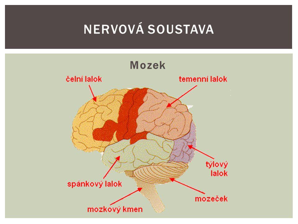 Nervová soustava Mozek