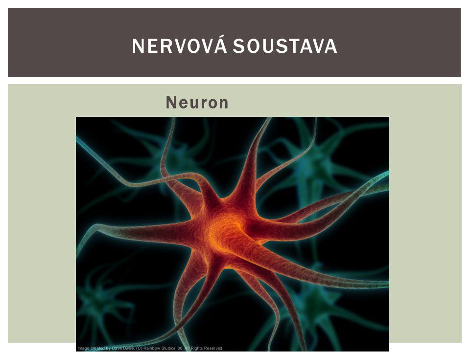 Nervová soustava Neuron