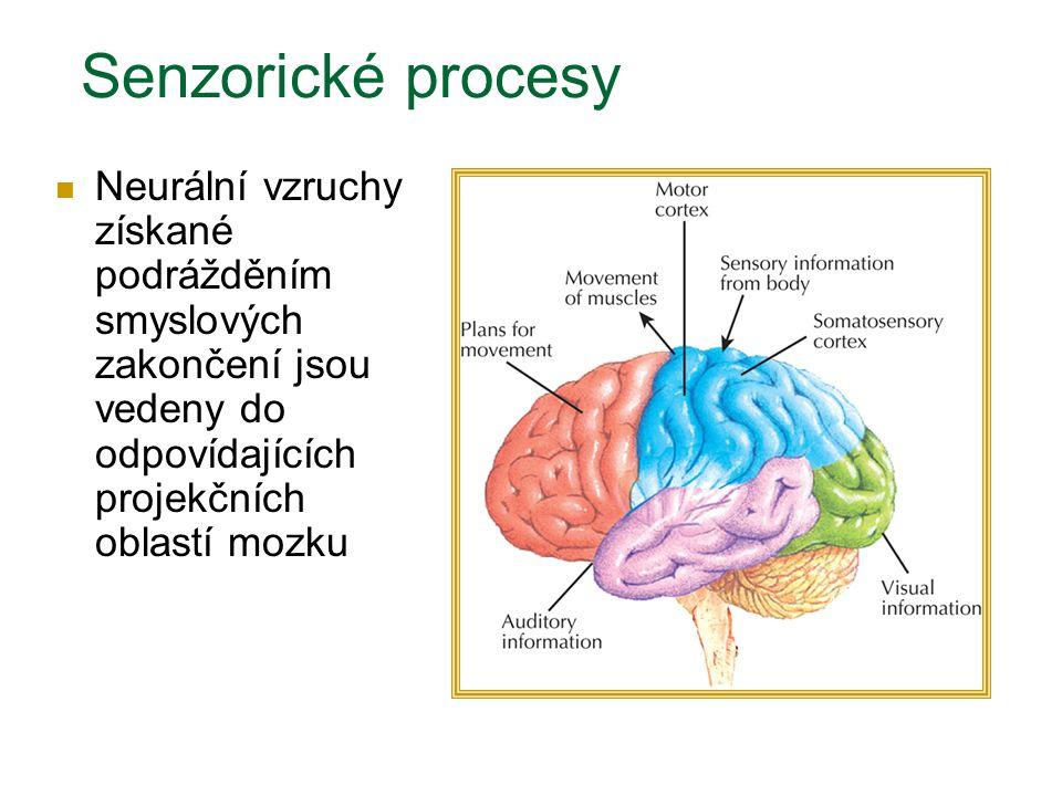 Senzorické procesy Neurální vzruchy získané podrážděním smyslových zakončení jsou vedeny do odpovídajících projekčních oblastí mozku.