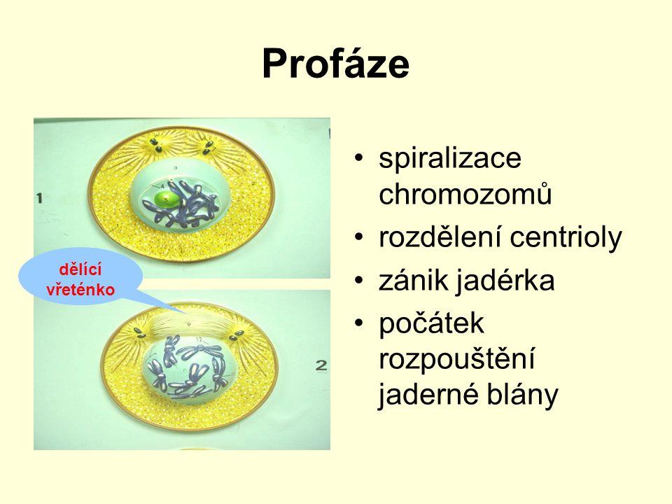 Profáze spiralizace chromozomů rozdělení centrioly zánik jadérka