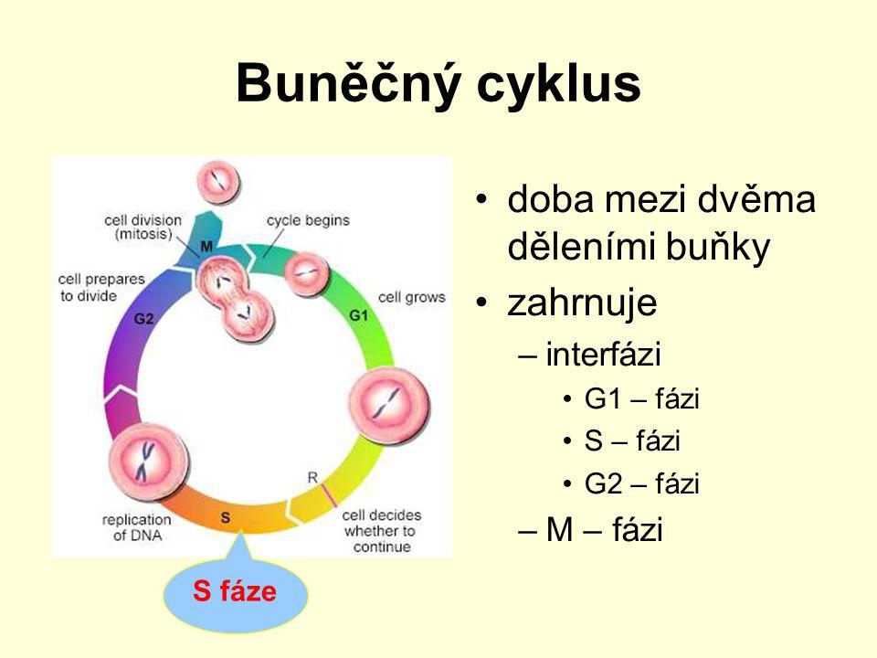 Buněčný cyklus doba mezi dvěma děleními buňky zahrnuje interfázi