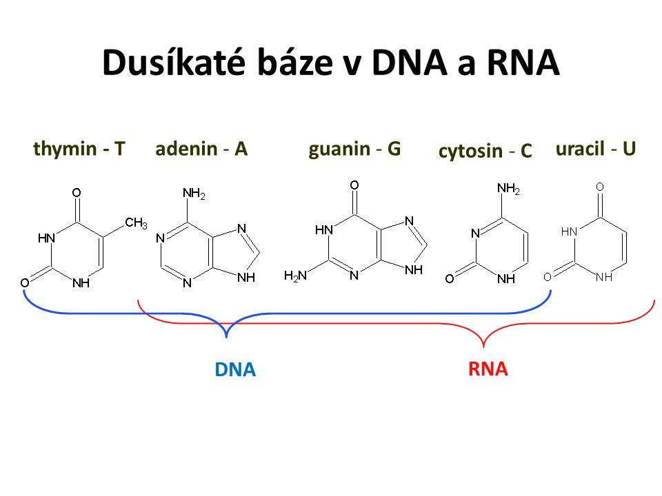 Dusíkaté báze v DNA a RNA