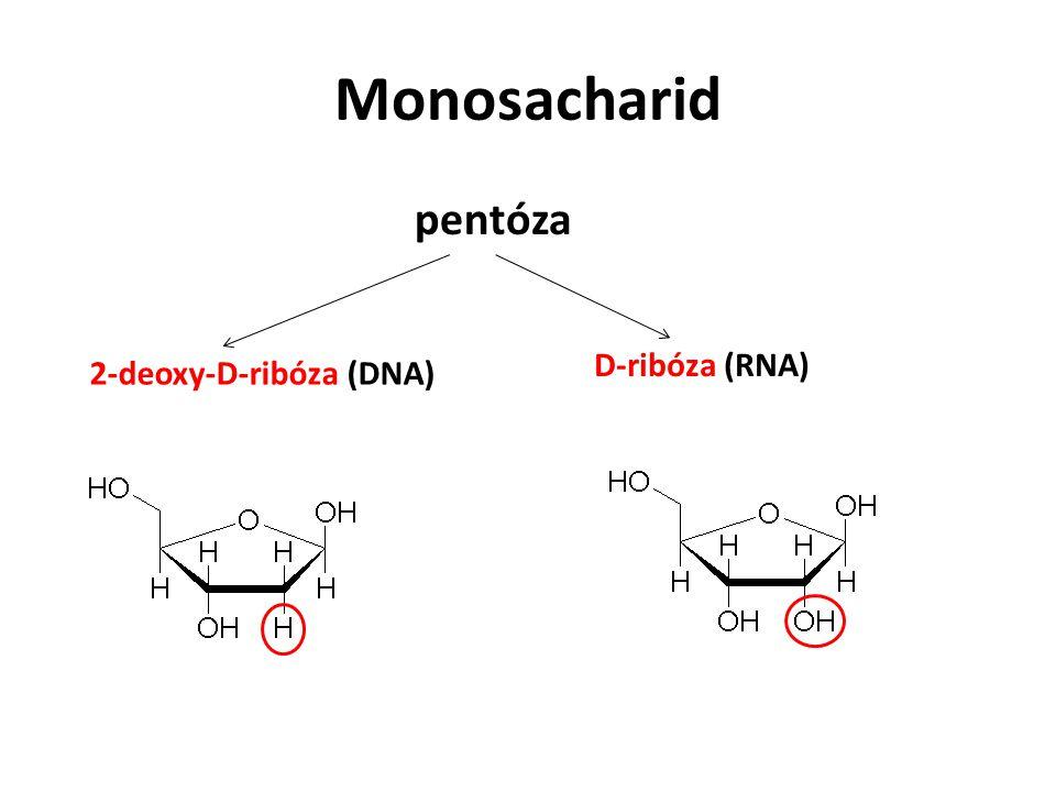 Monosacharid pentóza D-ribóza (RNA) 2-deoxy-D-ribóza (DNA)
