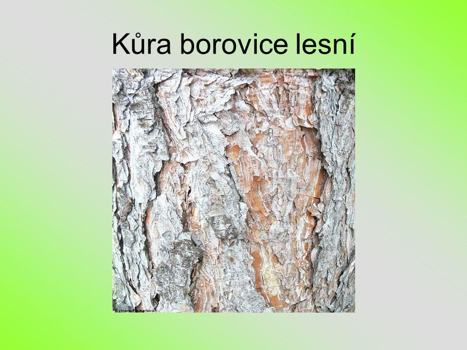 Kůra borovice lesní