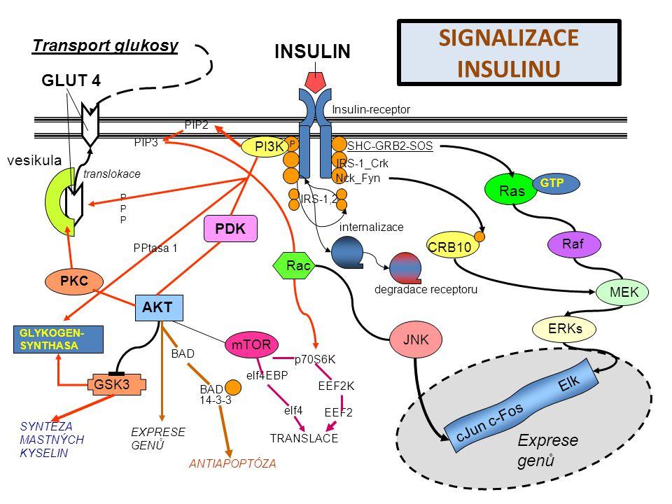 SIGNALIZACE INSULINU INSULIN Transport glukosy GLUT 4 Exprese genů