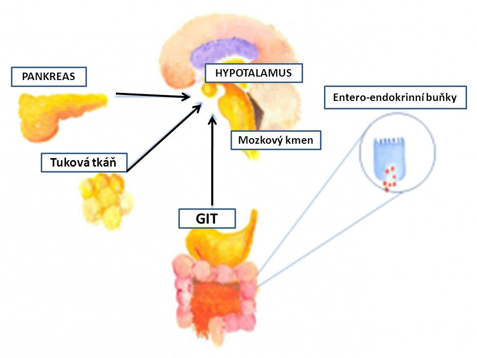 Entero-endokrinní buňky