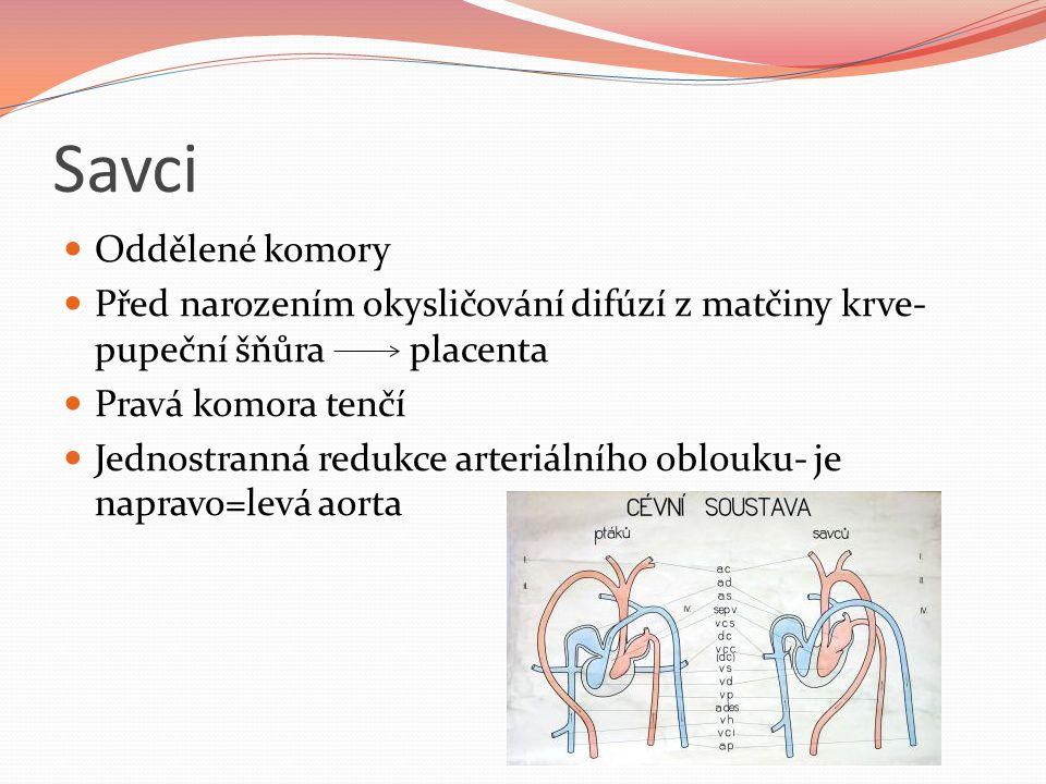 Savci Oddělené komory. Před narozením okysličování difúzí z matčiny krve- pupeční šňůra placenta.