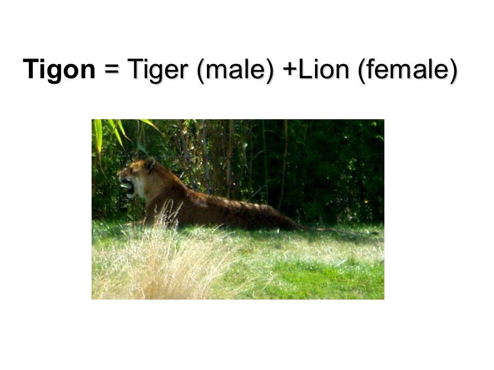 Tigon = Tiger (male) +Lion (female)
