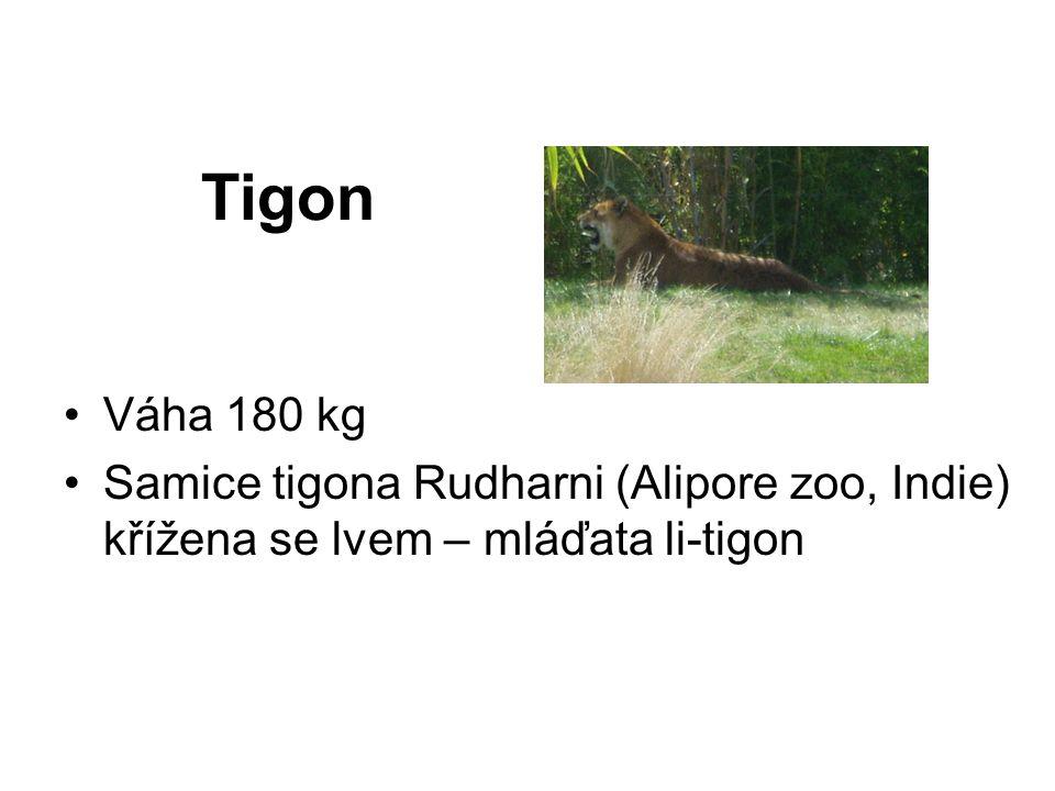 Tigon Váha 180 kg Samice tigona Rudharni (Alipore zoo, Indie) křížena se lvem – mláďata li-tigon
