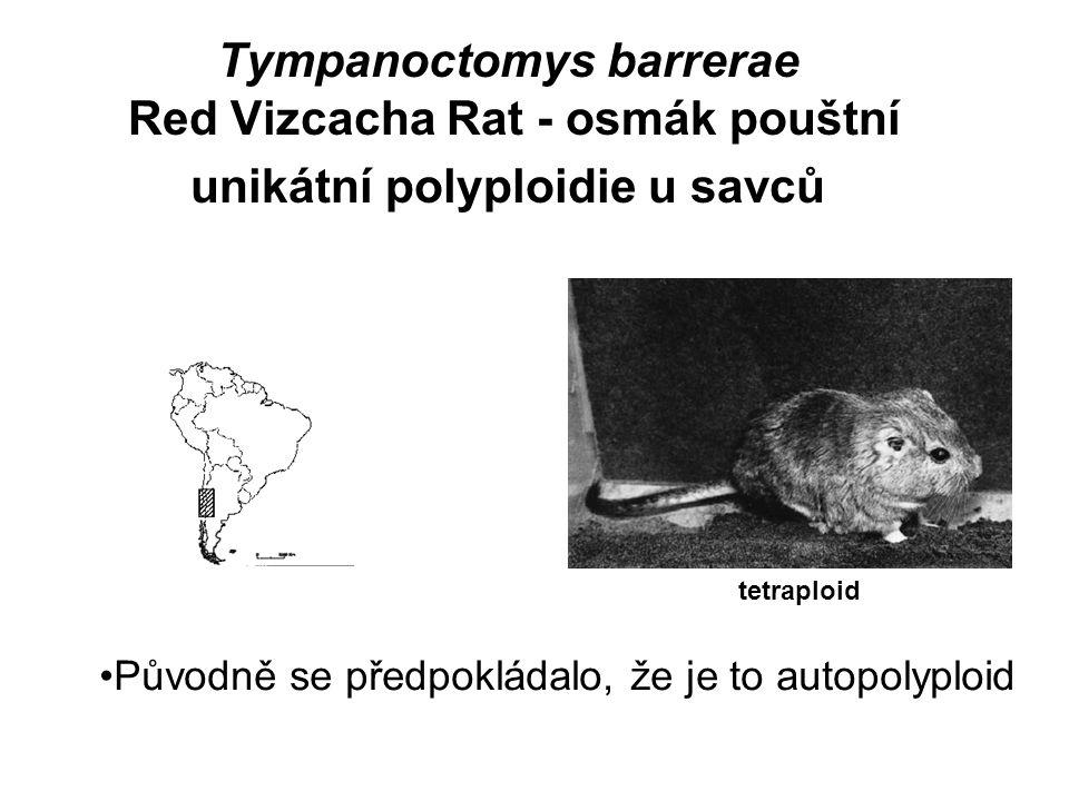 Tympanoctomys barrerae Red Vizcacha Rat - osmák pouštní unikátní polyploidie u savců