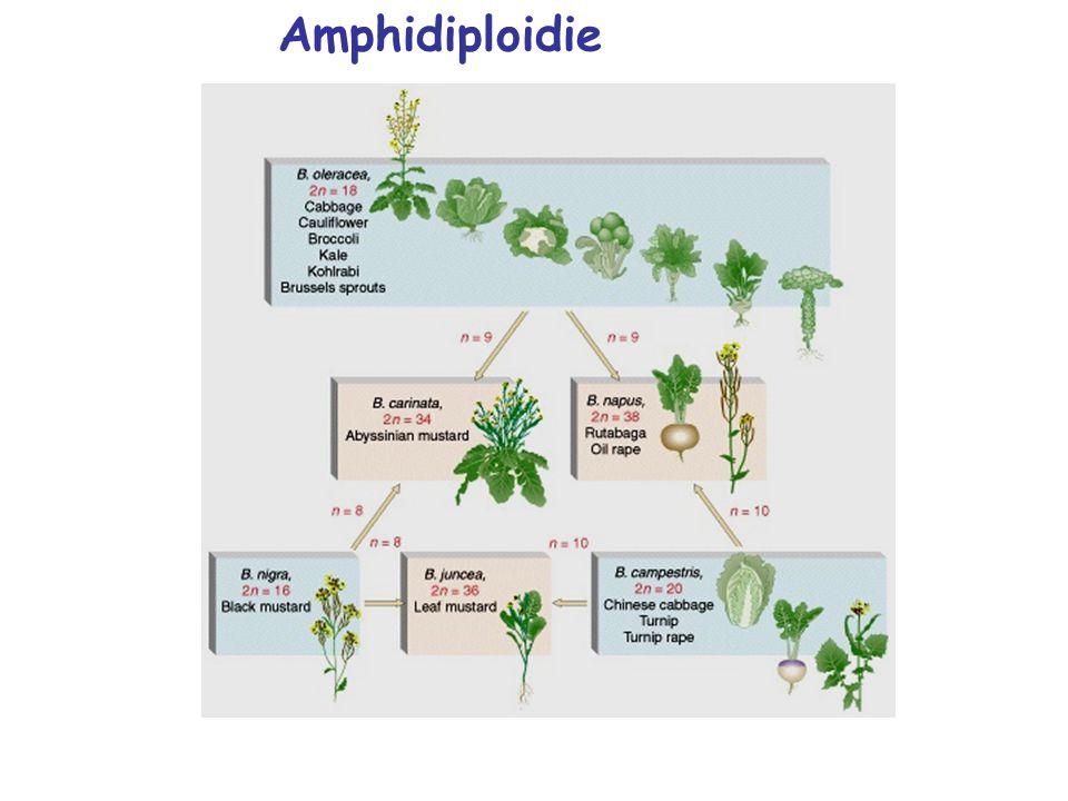 Amphidiploidie